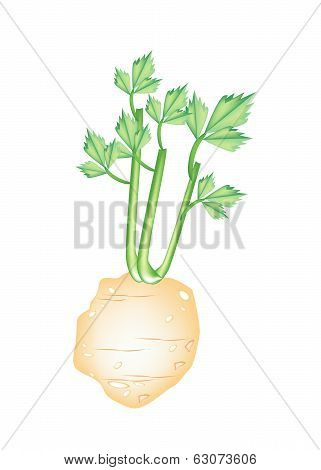 Fresh Green Celery Root On White Background