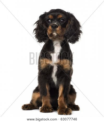 Cavalier King Charles Spaniel puppy sitting (4 months old), isolated on white
