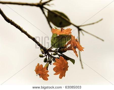 Mexican Orange Flower Close-up