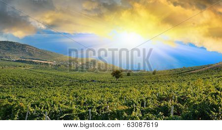 Sunrise Over A Grape Field