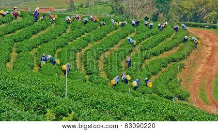 Tea Garden In Northern Thailand