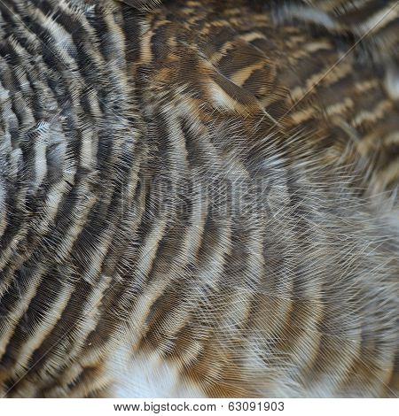 Asian Barred Owlet Feathers
