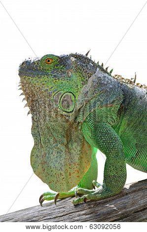 Green Iguana Isolated