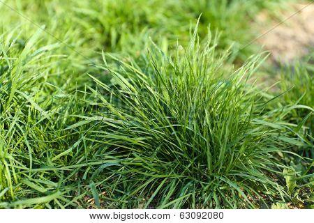 Spring green grass background