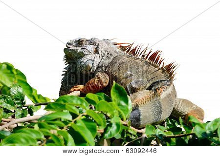 Male Green Iguana Isolated