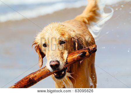 Happy Young Golden Retriever,  Adorable Dug Running on the Beach
