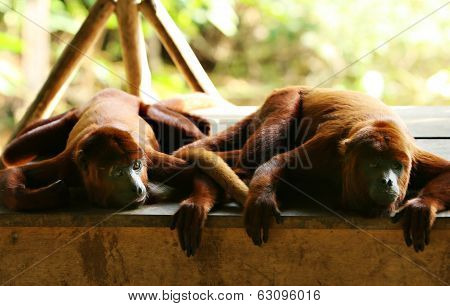 Two Howler Monkeys