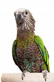 Hawk-headed Parrot (Deroptyus accipitrinus)