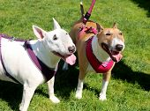 Two bull terrier friends on a walk