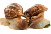 picture of hermaphrodite  - two achatina snails isolated on the white background - JPG