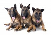 image of belgian shepherd  - belgian shepherds in front of white background - JPG