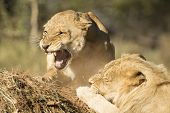 African Lion Male And Female Snarling (panthera Leo) South Africa