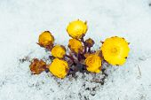 image of adonis  - Flowers Adonis among melting snow in the early spring - JPG