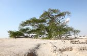 image of bahrain  - The Tree of Life in the desert of Bahrain Middle East - JPG