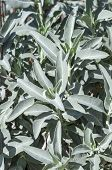 picture of salvia  - Bush of healthy aromatic white sage Salvia apiana growing in wild - JPG