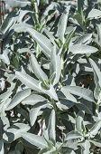 stock photo of salvia  - Bush of healthy aromatic white sage Salvia apiana growing in wild - JPG