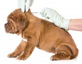 image of dogue de bordeaux  - veterinary care  - JPG