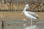 Pink-backed Pelican Waddling On The Shore