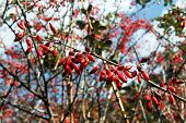 stock photo of barberry  - Branch of barberry bush in the forest - JPG