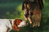 picture of snipe  - Gun dog near to trophies horizontal outdoors - JPG