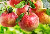 stock photo of apple tree  - fresh red apples on a tree in a garden - JPG