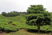 image of cameron highland  - Big tree and tea plantation in Cameron Highlands Malaysia - JPG