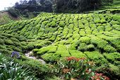 image of ravines  - Ravine and tea plantation in the Malaysia - JPG