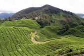 picture of cameron highland  - Road and tea plantation in Cameron Highlands Malaysia - JPG