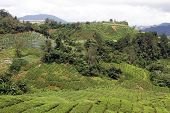foto of cameron highland  - Hill and tea plantation in Cameron Highlands in Malaysia - JPG
