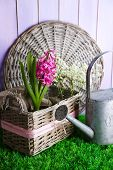 Beautiful hyacinth flower in wicker basket, on green grass on color wooden background