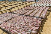stock photo of squid  - Squid lay on net Dried Squid traditional squids drying in the sun in a idyllic fishermen village Thailand - JPG