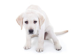 image of animal cruelty  - A sad or bad Labrador puppy dog - JPG