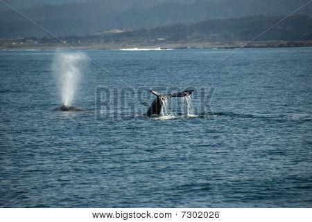 Grey Whale