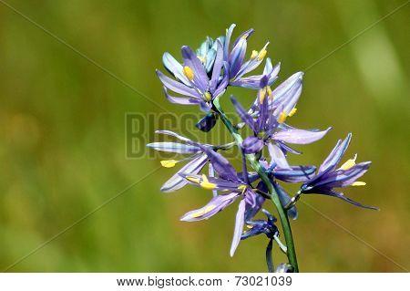 Purple Camas Closeup