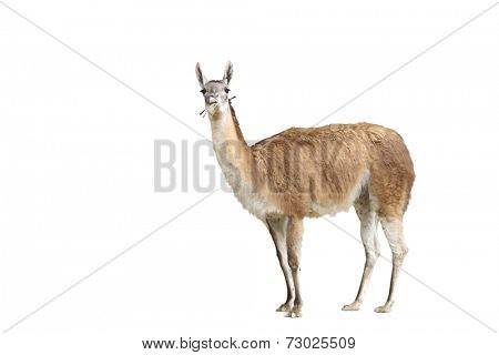 Portrait of brown alpaca standing over white background