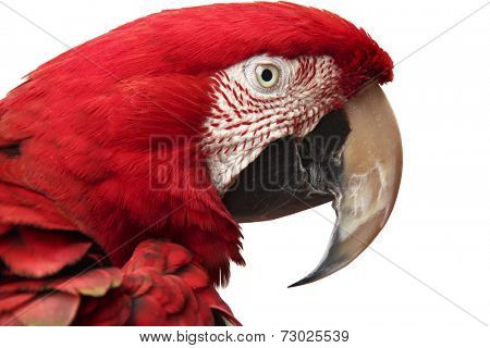 Close-up of green-winged scarlet macaw over white background