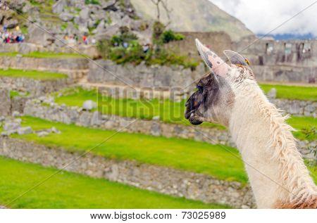 Machu Picchu, Peru - llama in ruins