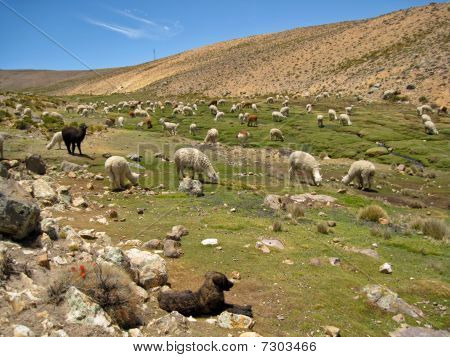 Lama Flock