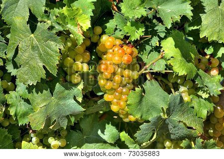Bunch of ripe grapes among vine leaves in vineyards of Piedmont, Northern Italy.