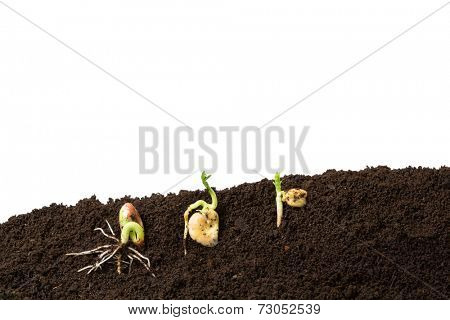 bean, fava bean and chickpeas seeds germination isolated on white