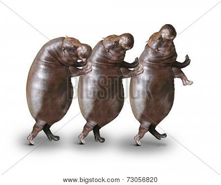 Three obese hippos have a fun.