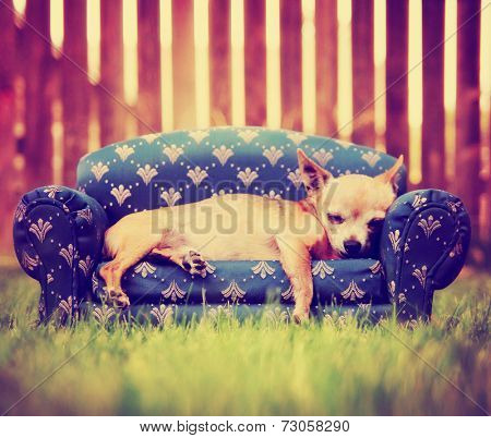 a cute chihuahua laying on a couch toned with a retro vintage instagram filter