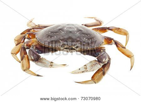 A raw live crab on a white background.