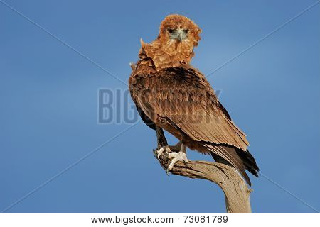 Immature Bateleur eagle (Terathopius ecaudatus) perched on a branch, Kalahari, South Africa
