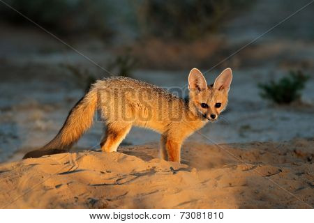 Cape fox (Vulpes chama) outside its den in early morning light, Kalahari desert, South Africa