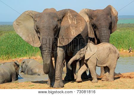 African elephant (Loxodonta africana) cow with young calf, Addo Elephant National park, South Africa