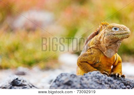 Land iguana endemic to the Galapagos islands, Ecuador