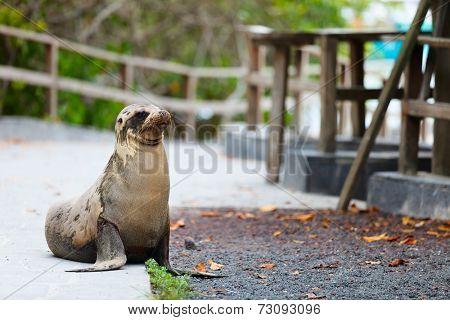 Sea lion on a pedestrian walkway at Galapagos islands