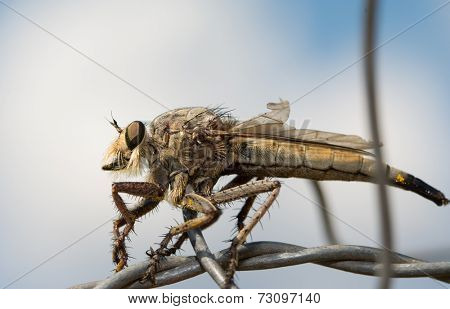 Closeup of a Giant Robber Fly resting on wire against cloudy sky