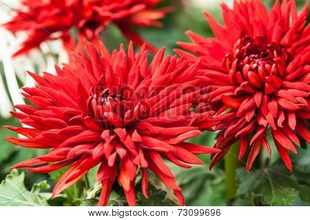 Closeup Chrysanthemums